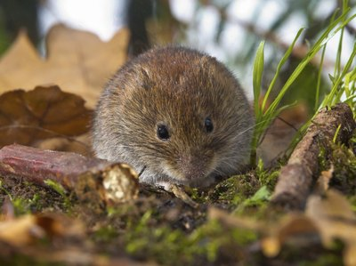 A vole above ground amidst grass and leaves.