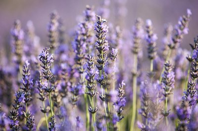 Close-up of lavandin lavender plants.