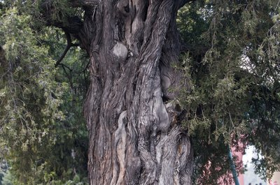 The trunk of a very old chinese juniper tree.