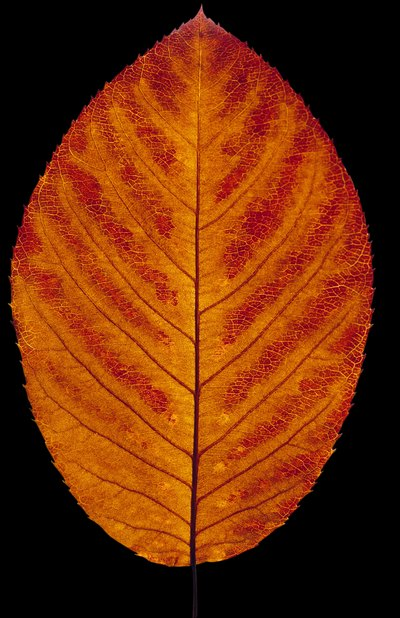 Simple leaves are shapes that are void of clefts and lobes.