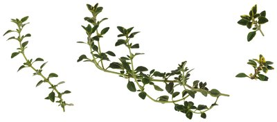 Thyme is a popular vegetable spice.