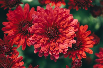 Chrysanthemums are now available in colors like red.