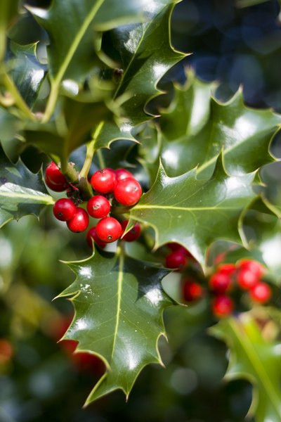 Holly has been used to decorate at Christmas for centuries.