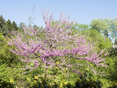 Eastern redbud tree in full bloom