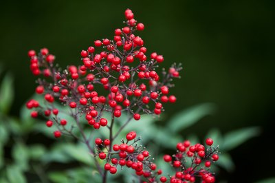 Nandina may be susceptibe to fungal disease.