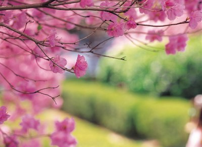 Weeping cherry trees, like cherry blossom trees, offer thick white flowers each spring.