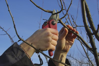 A man cuts a tree with hand pruners
