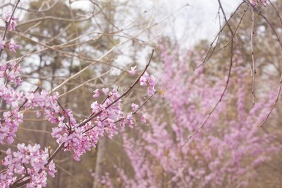 A close-up of pink blossoms on the branches of a redbud tree in the springtime.