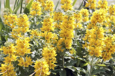 Yellow loosestrife flowers grow in a field.