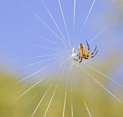 An orb weaving spider.