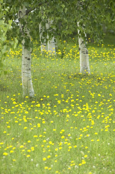 A close-up of lthe eaves and trunks of silver birch trees in a spring meadow.