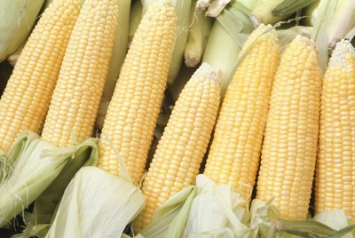 Seven cobs of freshly peeled yellow sweet corn.