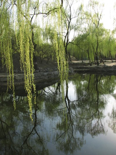 Corkscrew willows growing on the bank of a pond.