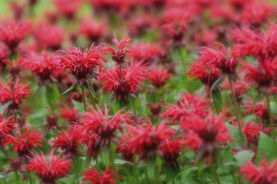 A cluster of red Eastern beebalm wildflowers.