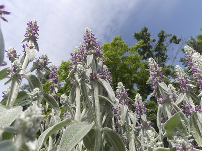 Lamb's ear with flowers.
