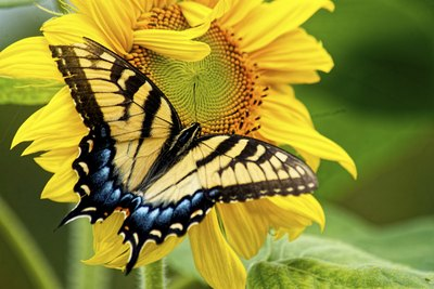 Some butterflies surpass flowers in colors and patterns.