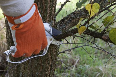 A close-up of a persone with a gloved hand pruning the branches off of a tree.