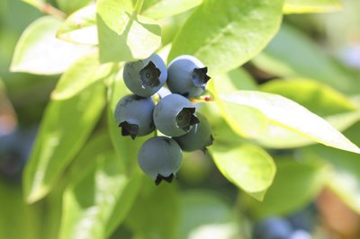 Highbush blueberries growing on a vine.