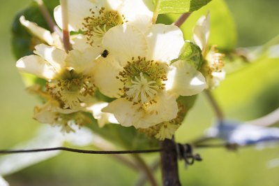 Kiwifruit flowers contain male or female reproductive organs.