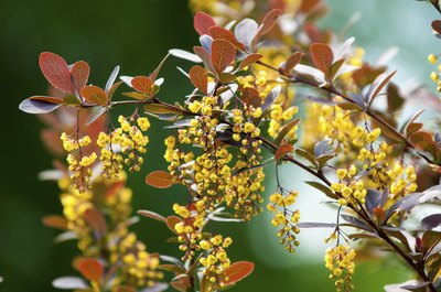 A blossoming barberry bush.