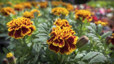 French marigolds growing in garden