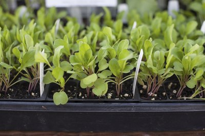 Arugula plants sprouting in a greenhouse.