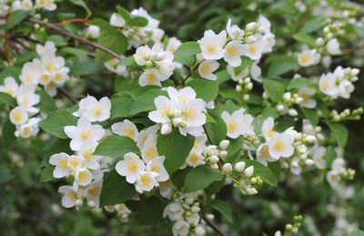 Close-up of flowering mock orange shrub