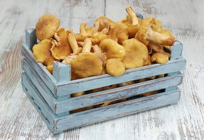 A wood basket filled with chanterelles.