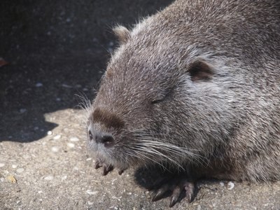 "Nutria are called ""river rats"" because of their semi-aquatic lifestyle."