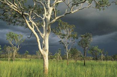 A storm front moves in on a stand of eucalyptus trees.