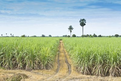 Table sugar is derived from the sugar cane plant.