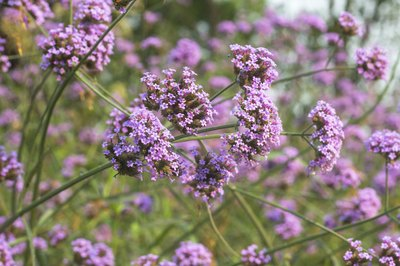 The flowers of a Verbena plant.