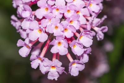 A close-up of lavendar-pink Peakeep blooms.