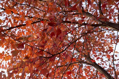 red maple trees shot from below