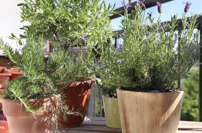 Lavender, rosemary, and tougher herbs grow in pots on a patio.