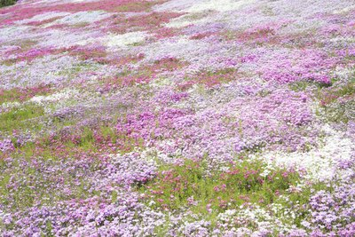 Creeping phlox covers the ground in a field.