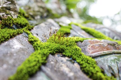 Some mosses grow well on and between bare stone.