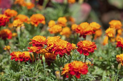 French marigold flowers.