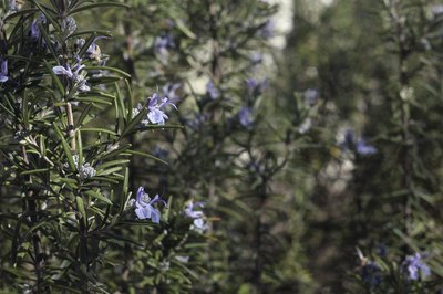 Wild rosemary growing in a forest.
