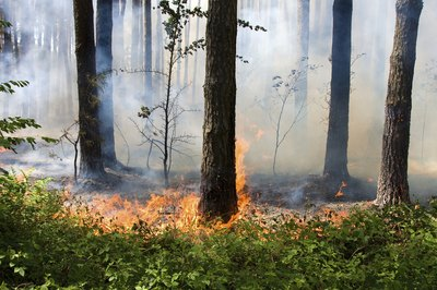 A wildfire burns in a pine forest.