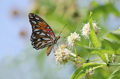 close up of butterfly on common buttonbush
