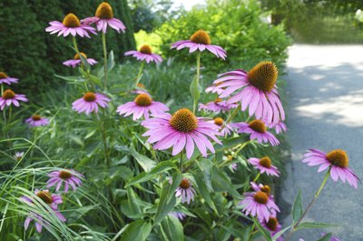 Purple coneflowers lining a paved walkway in a park.
