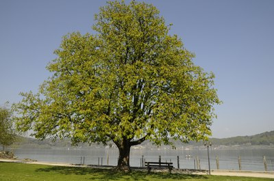 A horse chestnut tree grows in a park by the lake.