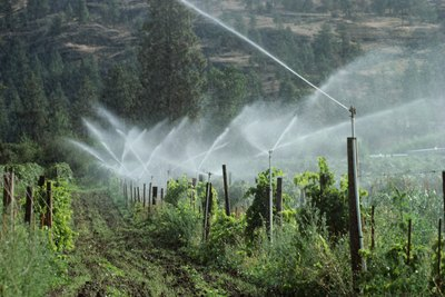 Sprinklers watering a vineyard