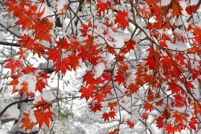 red maple tree leaves covered in snow
