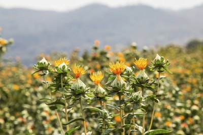 Safflower plants in a field with mountains in background.