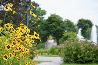 Yellow plains coreopsis growing along a sidewalk and around a lamp post.
