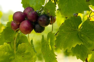 Close-up of muscadine grapes on branch