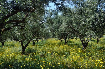 Olive trees growing in a meadow of yellow wildflowers.