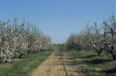 Apple orchard in late spring
